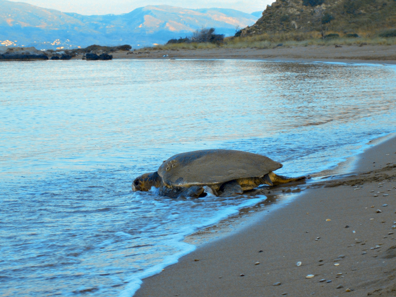 Caretta-Caretta In The National Marine Park
